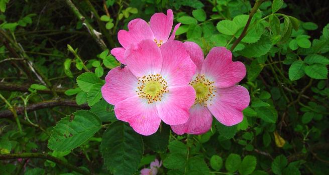 La Rosa mosqueta _ Rosa mosqueta - hatakama - Dra_ Isabel Belaustegui ___
