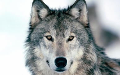 wolf wallpaper you are viewing the other wallpaper named wolf it has ___